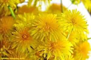 Bouquet de pissenlits - macro 1