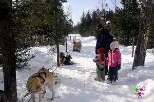 Traineau à chiens - pause avec les chiens