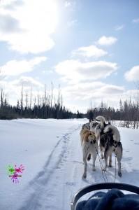 Traineau à chiens - paysage et chiens